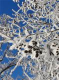 Snowy branches blue sky background