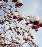 Red berries on frozen snowy tree branches