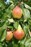 Ripe pear fruit on a tree branch