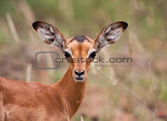 Baby impala looking alert