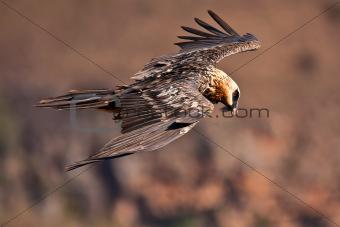 Bearded vulture flying