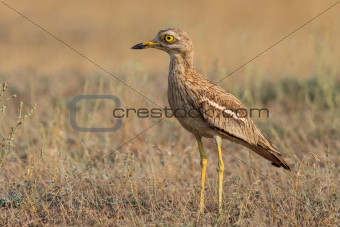 Eurasian Stone curlew (Burhinus oedicnemus) 
