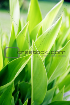 summer background from the bright green juicy leaves of plant