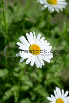 camomile in the field on a background a green grass