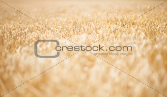 Just an open wheat field