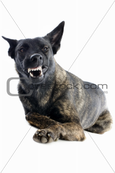 aggressive Holland Shepherd