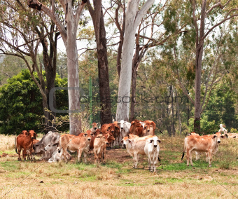 Australian cattle country herd of cows