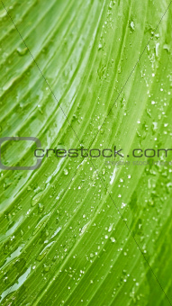 Large green leaf with rain drops 
