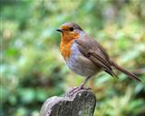 Robin perched on a park bench
