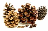 Different varieties of pine cones with seeds.