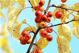 Red crab apples among yellow autumn foliage