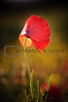 Poppy field landscape in English countryside in Summer