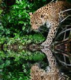 Beautiful leopard Panthera Pardus big cat amongst foliage reflec