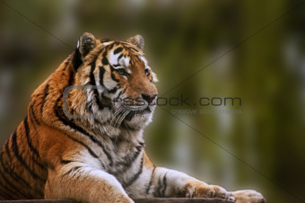 Stunning close up image of tiger relaxing on warm day