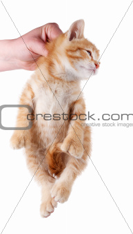 Hand holding kitten by the scruff of its neck isolated on white.