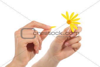 Woman hands defoliating a daisy