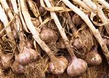 Organic Garlic