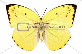 "Butterfly species Catopsilia pomona pomona ""Lemon Emigrant"""