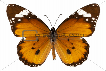 "Butterfly species danaus chrysippus ""plain tiger"""