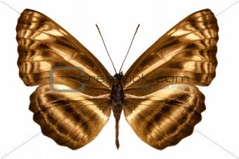 """Butterfly species Neptis omeroda omeroda """"sailer butterfly"""""""