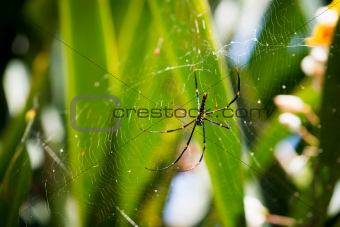 Female Golden Web Spider (Nephila pilipes), Bali, Indonesia.