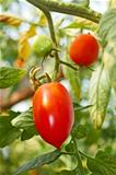 Red oblong tomatoes in greenhouse