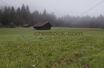 wild crocuses on alpine meadow