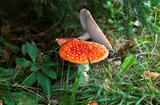 Amanita muscaria mushrooms