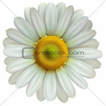 Chamomile flower isolated on white, vector Eps10 illustration