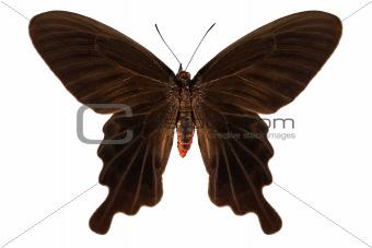"Butterfly species Atrophaneura aristolochiae kotzebuea ""Common rose"""