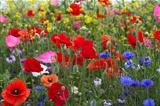 Poppies amongst wild flowers