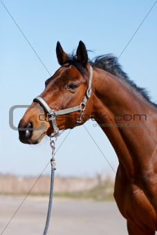 Portrait of a sports horse