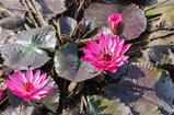 Pink lotus blossoms in the pond
