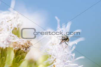 Hover flies  on white flowers plants
