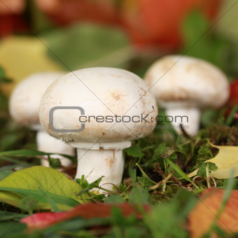 Ripe mushrooms growing in a forest