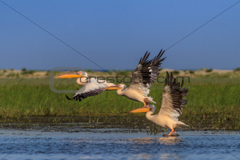 white pelicans (pelecanus onocrotalus)