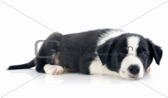 wink of puppy border collie