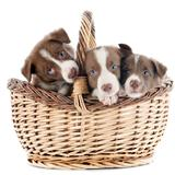puppy border collie in basket