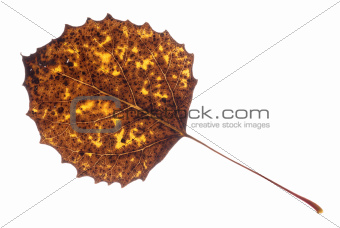 Colorful Fall Leaf Isolated