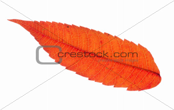 Colorful Red Sumac Leaf Isolated
