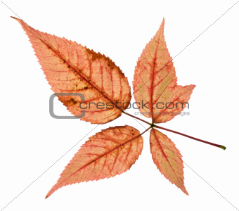 Colorful Fall Leaves Isolated