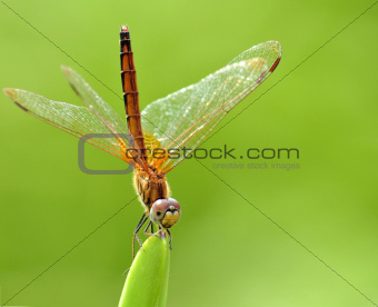 An Orange Dragonfly