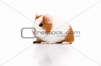 Red and white guinea pig on white background