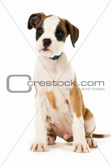 Boxer puppy sat isolated on a white background
