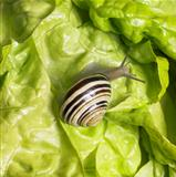 Grove snail upon green lettuce