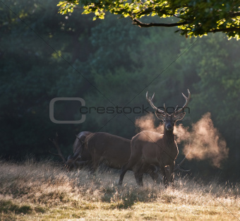 Red deer stags on cold morning in misty foggy landscape