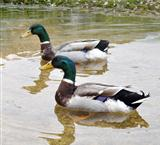 Mallard Ducks
