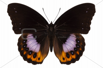 Butterfly species hypolimnas pandarus