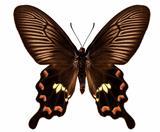 "Butterfly species Pachliopta aristolochiae antissa ""Common rose"""