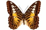 "Butterfly species Parthenos sylvia ""Clipper butterfly"""